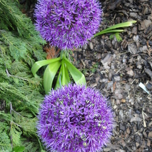 Allium sp.