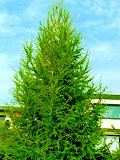 Drevesnica Omorika d.o.o. - Vrtnarija, urejanje okolja ... Sadik